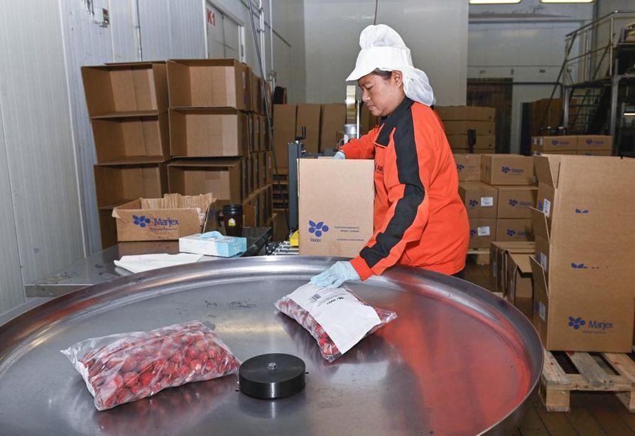 Elintarviketyöntekijä Supatra Thonpao Thaimaasta pakkasi pakastemansikoita laatikoihin Arctic Internationalin tuotantotiloissa Sotkamossa.