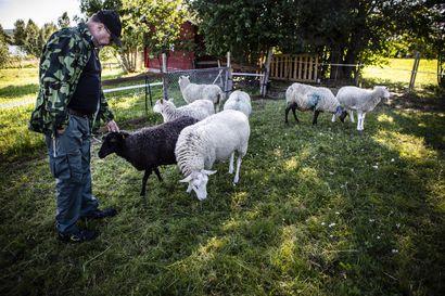 Irti olevat koirat vaaraksi lampaille ja poroille - kaksi koiraa raateli lampaita viime lauantaina Rovaniemen Ylikylässä