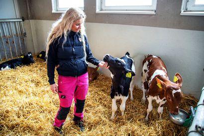 """Metallisilppu tappoi lehmän tuskallisesti Keminmaassa – Maitotilalta vedotaan ihmisiin: """"Lopettakaa roskaaminen"""""""