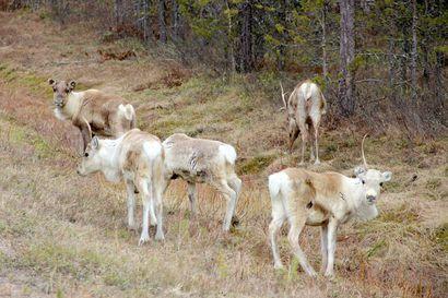 """Poikkeuksellinen talvi aiheutti poronhoidolle merkittäviä lisäkuluja ja eläintappioita – """"Paliskunnissa arvioidaan, että toipuminen poikkeuksellisesta talvesta on hidasta"""""""