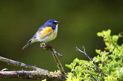 Sanginjoelta löytyi toinenkin sinipyrstö, kuluvasta vuodesta tulossa linnun esiintymisen huippuvuosi Suomessa