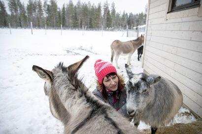 Ei vain kahta koiraa ja kissa – Sari Kettusen kotipihalla Jakkukylässä asustaa neljä aasia ja vuohi, lisäksi eläinrakas työterveyslääkäri omistaa puolitoista poroa