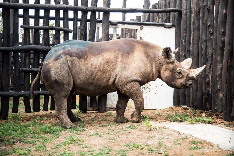 Sarvikuonot vapautettiin Akageran kansallispuistoon Ruandassa.