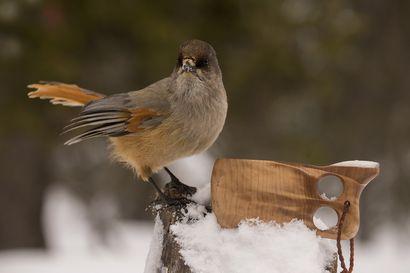 Sylviakin saattaa saapua jouluvierailulle – näillä herkuilla lintuja kannattaa muistaa joulun aikaan