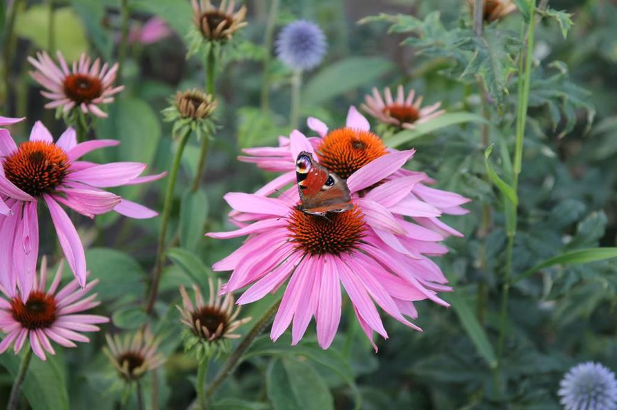Neitoperhonen on pysähtynyt kaunopunahatun kukalle.