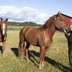 Ravihevoset ovat suvun yhteinen harrastus – hevosen ravuriksi kehittyminen vaati valtavasti työtä