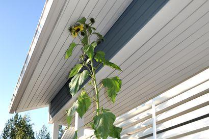 Auringonkukka, joka luulee olevansa puu