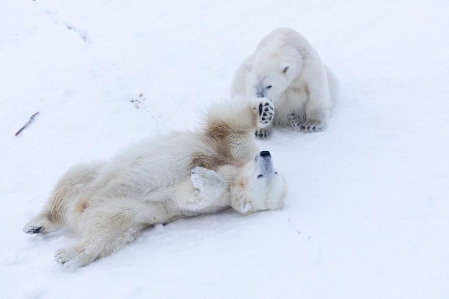 Jääkarhunpentu Sisu leikkii paljon  Venus-emänsä kanssa.