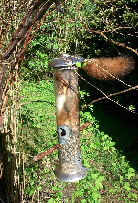 Lintujen ruokinta-automaattiin sulloutunut orava ei olisi päässyt enää omin voimin pois tukalasta tilanteesta.