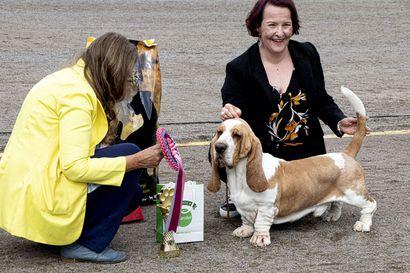Bassetista tuli Paavolan näyttelyn BIS – ryhmänäyttelyyn oli ilmoitettu 404 koiraa