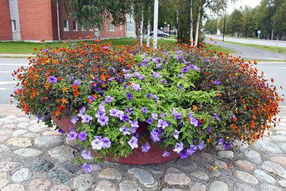 Kadunvarsien ja puistojen kesäkukkaloisto Kuusamon keskustassa jatkuu vielä syyskuussa – katso kuvat tästä