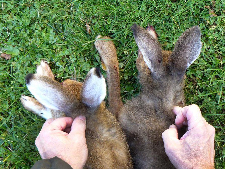 Ala-Temmeksellä pyydetyillä eläimillä oli metsäjäniksen väritys, mutta rusakkomaisen suuret korvat. Otusten lajinmääritys tehdään dna-testeillä Itä-Suomen yliopistossa.