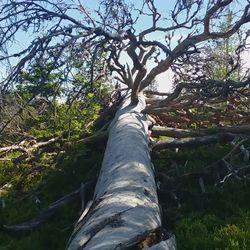 Rauhoitetulla männyllä kerrotaan olevan ikää noin 300 - 400 vuotta,pituutta 22 metriä,halkaisija n. 1,20 cm. Pystyyn jäi n. 3 metrin kanto kaatuessaan metsään päin, oksiensa varaan ihailtavaksi ajan kulkua maailmassa.
