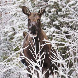 """Aikainen talvi haittaa hirvenpyyntiä Lapissa –metsästäjät: """"Rauhoitusajasta tulisi luopua"""""""