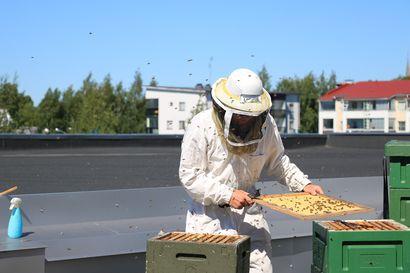Mehiläinen voi hyvin kaupungin keskustassa – Torniossa mehiläiset tuottavat hunajaa kauppakeskuksen katolla