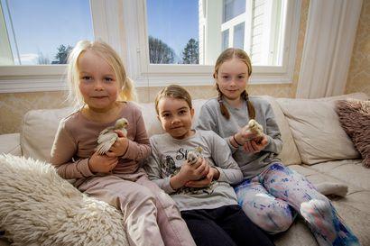Tyrnäväläisen Sämpin perheen keittiössä häärää myös kolme kananpoikaa: Laventeli, Lempi ja Lauri – vipeltäjät syntyivät kaksi viikkoa sitten ja hurmasivat heti koko talonväen