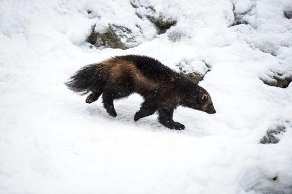 KHO: Enontekiölle myönnetty kahden ahman metsästyslupa oli lainvastainen – Natura-kohteet oli perustettu osittain juuri ahmojen suojelemiseksi