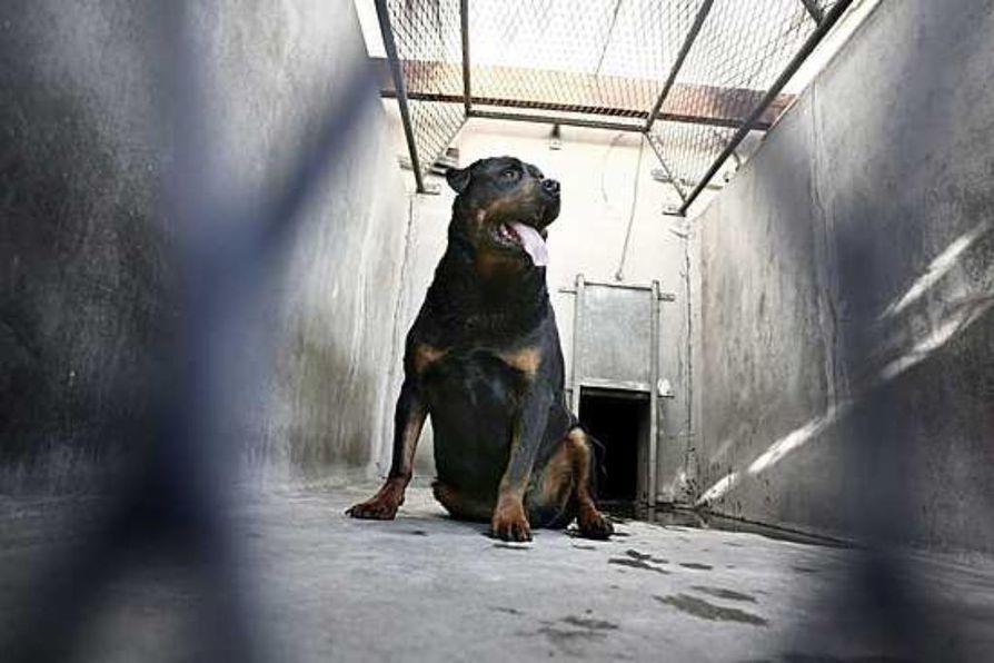 Kymmenvuotias poika kuoli sunnuntaina rottweilerin hyökättyä hänen kimppuunsa Elimäellä.  pihalla pojan kimppuun. Kuvan ranskalainen rottweiler tappoi kaksivuotiaan pojan tammikuussa 2007 Rhonessa.