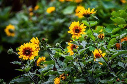 Lukijat äänestivät: Kemissä on Lapin kaupunkien kauneimmat kukat