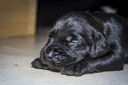Näitä koirarotuja hankittiin viime vuonna hurjaa tahtia – katso lista Suomen suosituimmista koirannimistä