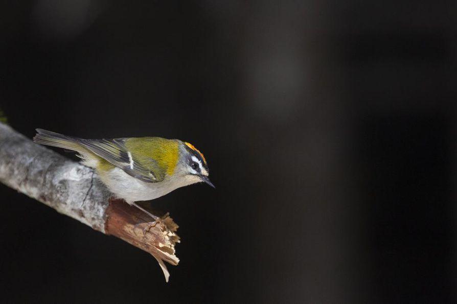 Tulipäähippiäinen on esimerkki uusista lintulajeista, jotka levittäytyvät kohti pohjoista. Laji havaittiin ensimmäisen kerran vuonna 1968. Ruotsissa pesi vuonna 2012 sata paria, mutta nykyisin yli 5000 tulipäähippiäispariskuntaa.