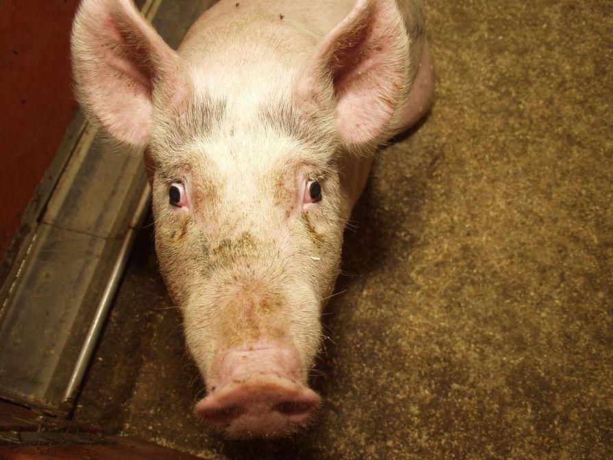 Mies löydettiin sikalasta karjun karsinasta. Kuvan eläin ei liity tapaukseen. Arkistokuva.