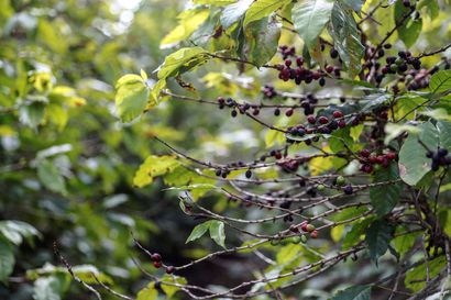 Pakkaset vaaransivat kahvisatoa Brasiliassa, ja seuraavaksi viljelijät toivovat sadetta – näin kahvin hinnannousun vaikutukset näkyvät Suomessa