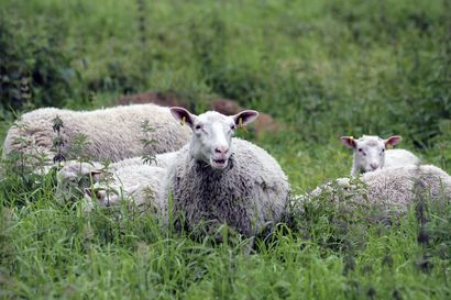Lapin kohteet kiinnostivat lammaspaimeniksi haluavia – Kaapin Jounin ja Välimaan tiloille yli tuhat hakemusta