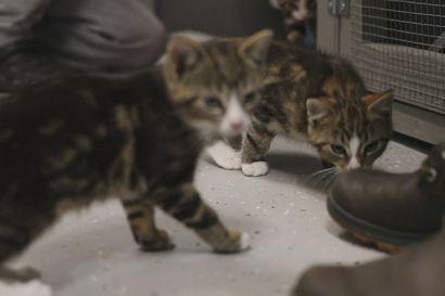 Eläinhoitola ja -löytölä Käpälärinteessä uutta kotia etsii useampi kissanpentu.