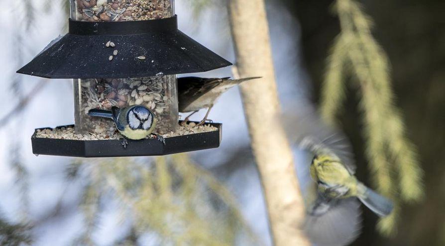 Pikkuvarpunen ja sinitiainen nauttimassa siemenateriaa lintulaudalla Hietasaaressa.