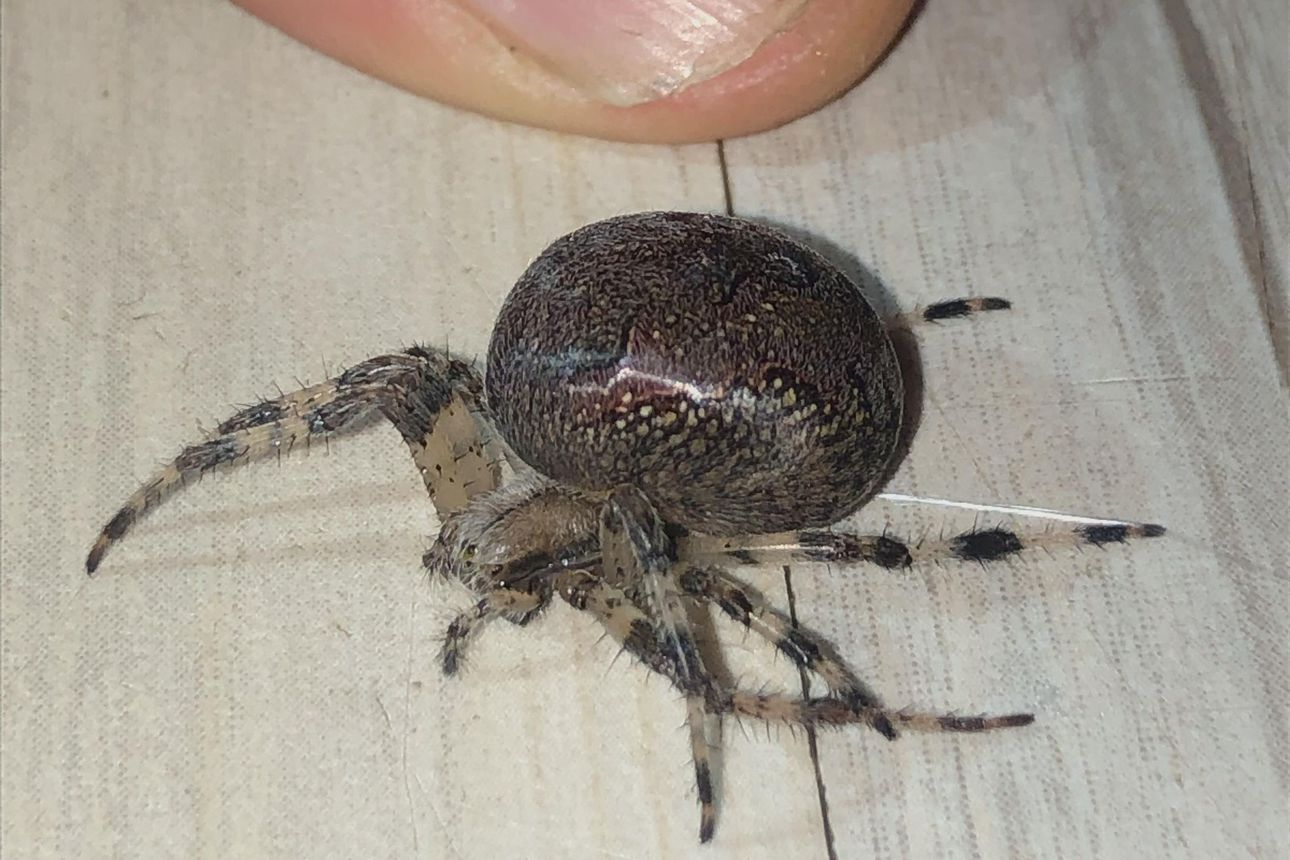 """Raahesta löytynyt jättiläishämähäkki ihmetyttää – """"Hämähäkkejä saattaa olla kymmeniä tuhansia yhdessä kuusessa"""""""