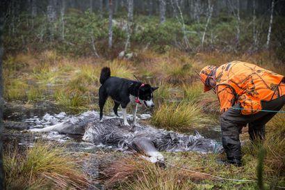Kansalaisaloite suden kannanhoidolliseen metsästykseen avattu – Takana Metsästäjäliitto ja monet koirajärjestöt