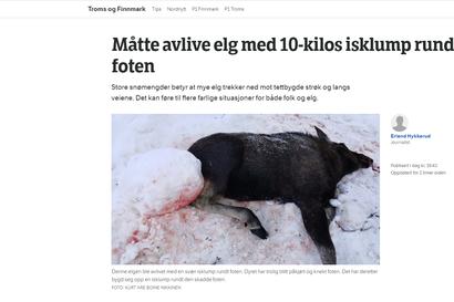 NRK: Norjan Lapissa lopetettiin hirvi, jonka jalasta roikkui 10-kiloinen lumipaakku – vastaavia tapauksia on tavattu alueella useita