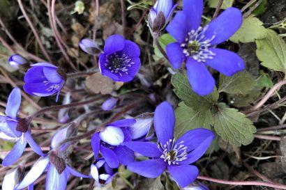 Napapiirin ryhmäpuutarhalla tapahtuu: Sinivuokko kukkii ensimmäisenä ja kestää takatalvenkin