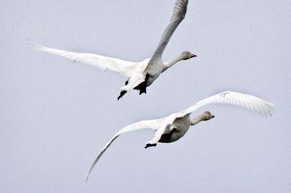 Lentääkö lintu lapaan? Maakuntakaavassa lintujen muuttoreitit on koitettu ottaa huomioon – linnut ovat myös varsin taitavia väistämään tuulivoimaloita