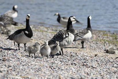 """Ministeriöiden """"hanhinyrkistä"""" ei ole luvassa apua kaupungeissa koettuun pökäleriesaan – Birdlife Suomi: ''Konflikti on ratkaistavissa ilman verenvuodatusta''"""