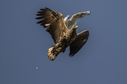 Pyhäjokinen itseoppinut valokuvaaja Vesa Koskela löytää mieluisimmat kohteensa linnuista ja metsäneläimistä, myös maisemakuvaus houkuttelee