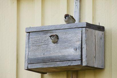 Linnunpöntöissä on tänä vuonna runsaasti asukkaita – pikkuvarpunen jo toista vuotta peräkkäin runsastunein laji