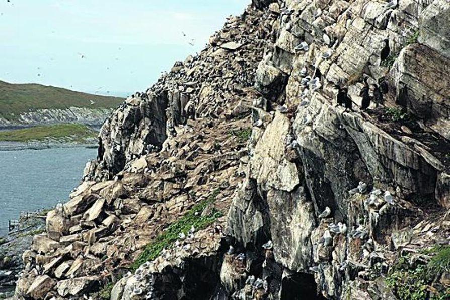 Hornøyan lintuvuoren seinämillä jokainen tasainen kallionkieleke on varattu pesäpaikaksi.