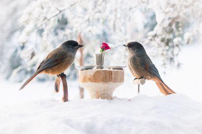 Kuukkelit istuivat romanttiselle illalliselle – Sallassa asuva Anniina Olkkonen houkutteli pihan linnut hauskaan valokuvaan