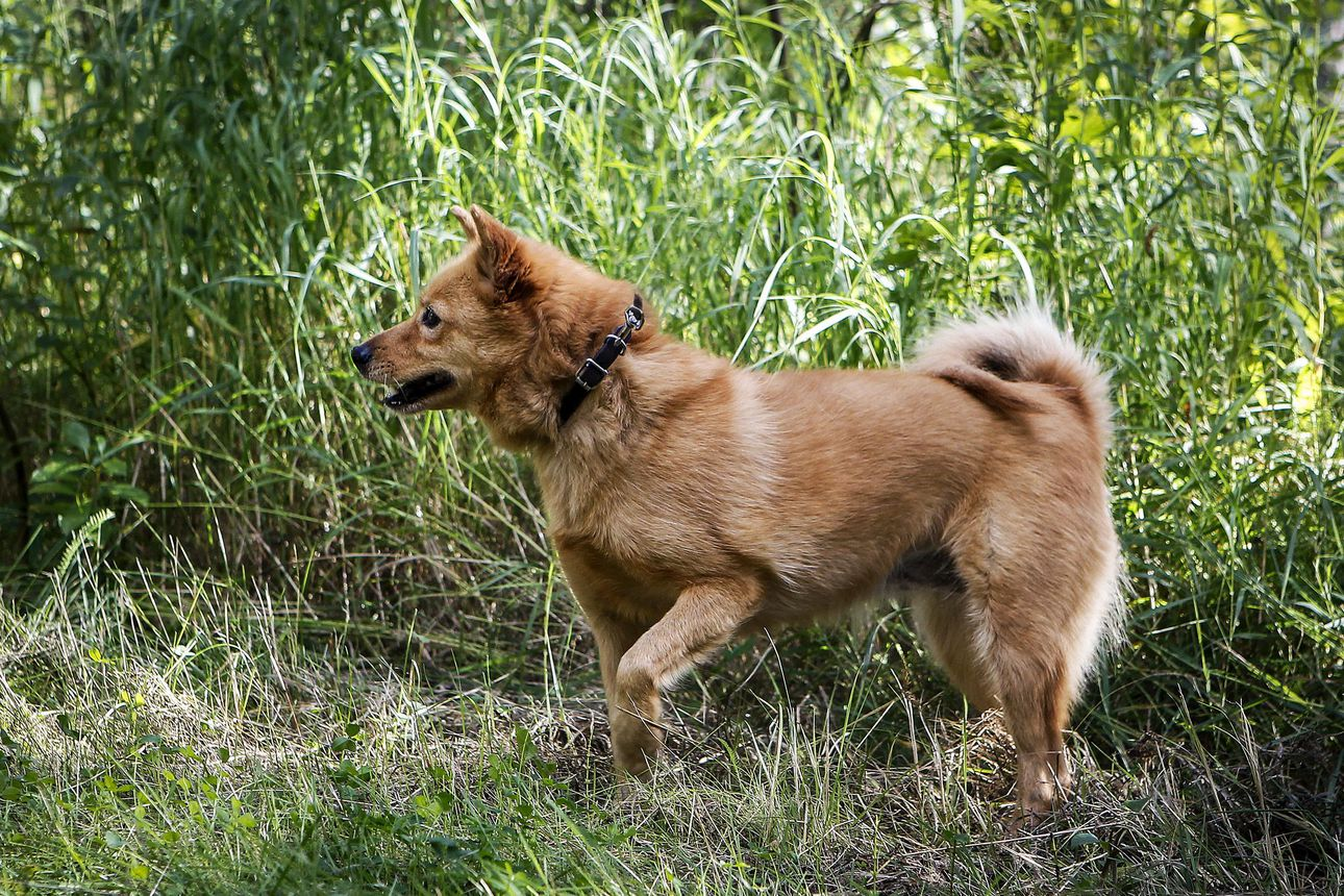 Laki ei kiellä koirien haukkumista omalla tontilla – Käräjäoikeuden mukaan metsästyskoiran luonteeseen kuuluu haukkuminen