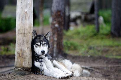 Koirat juoksevat hyvää liikevaihtoa ja siksi rekikoirabisnes kasvaa edelleen Lapissa –Koiratarhoja perustavat myös sellaiset, jotka eivät tiedä alasta oikein mitään