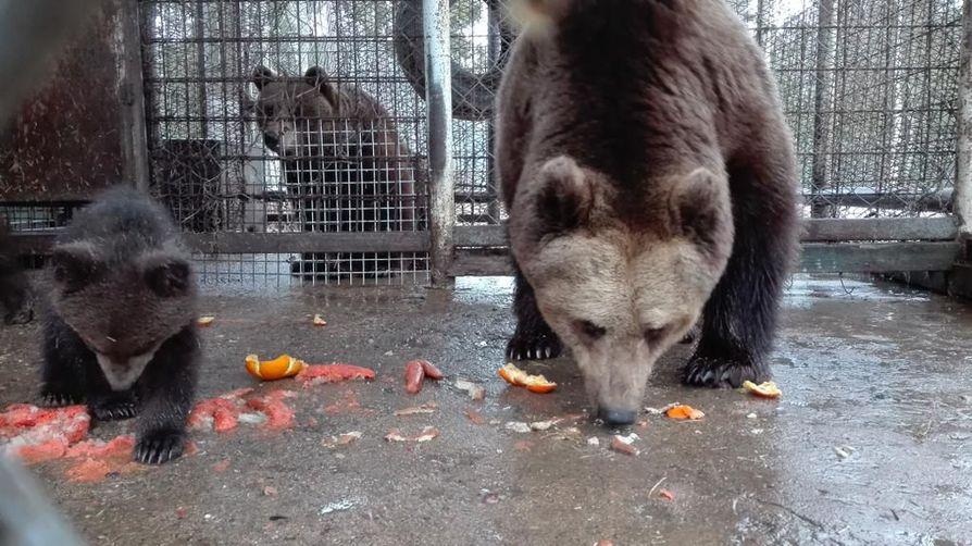 Pennut pääsivät Reeta-emon johdolla ulkoilemaan ja maistelemaan marjoja ja mandariineja.