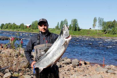 Tulvavesi viivästytti lohien jokeen nousua –Karungin perinnekalastajien verkkopyynti osui isojen lohien nousuun