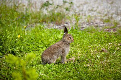 Jänisruttoa ilmennyt Suomessa runsaasti elokuussa