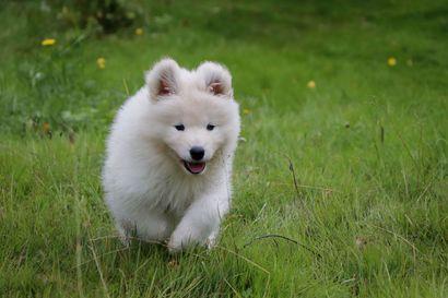 Valjakollinen samojedin-hymyä –Katso ihanat videot Halista ja Tuitusta sekä koiravaljakon yhteistyöstä