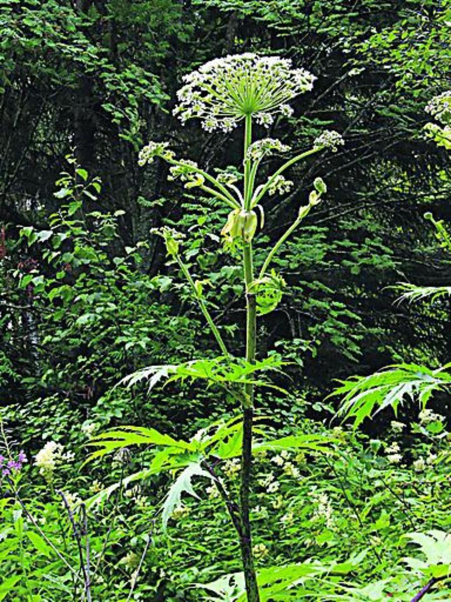 Jättiukonputki kukkii samanaikaisesti kuin karhunputki, johon pienikokoisen yksilön voi herkimmin sekoittaa.