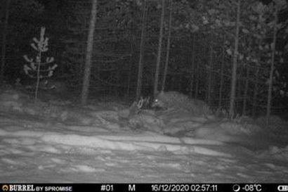Pihoilla liikkunut susi on häipynyt Ivalosta – Eläin suuntasi ehkä pohjoiseen