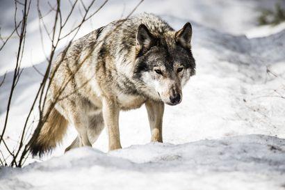 Susi raateli laitumella olleen vasikan Pyhäjärvellä – omistaja löysi osittain syödyn eläimen aamulla