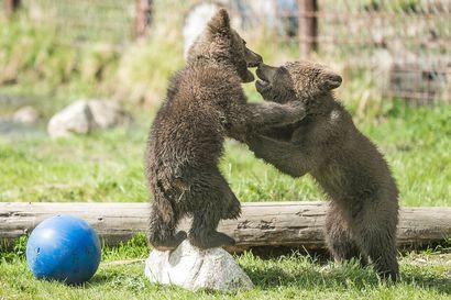 Karhunpainia Kerolla: Juuson leikkisät pennut ihastuttavat kävijöitä koko kesän